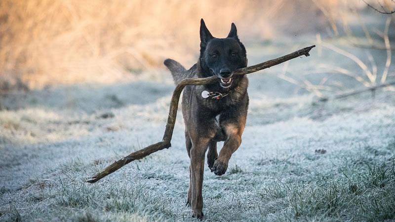 entrenar a un perro guardian